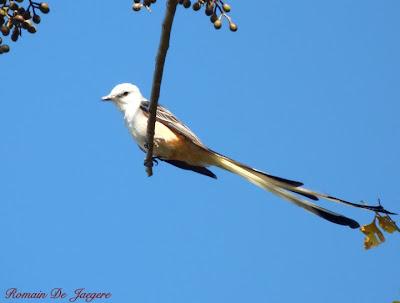 Scissor-tailed Flycatcher Tyrannus forficatus birdwatching Nicaragua