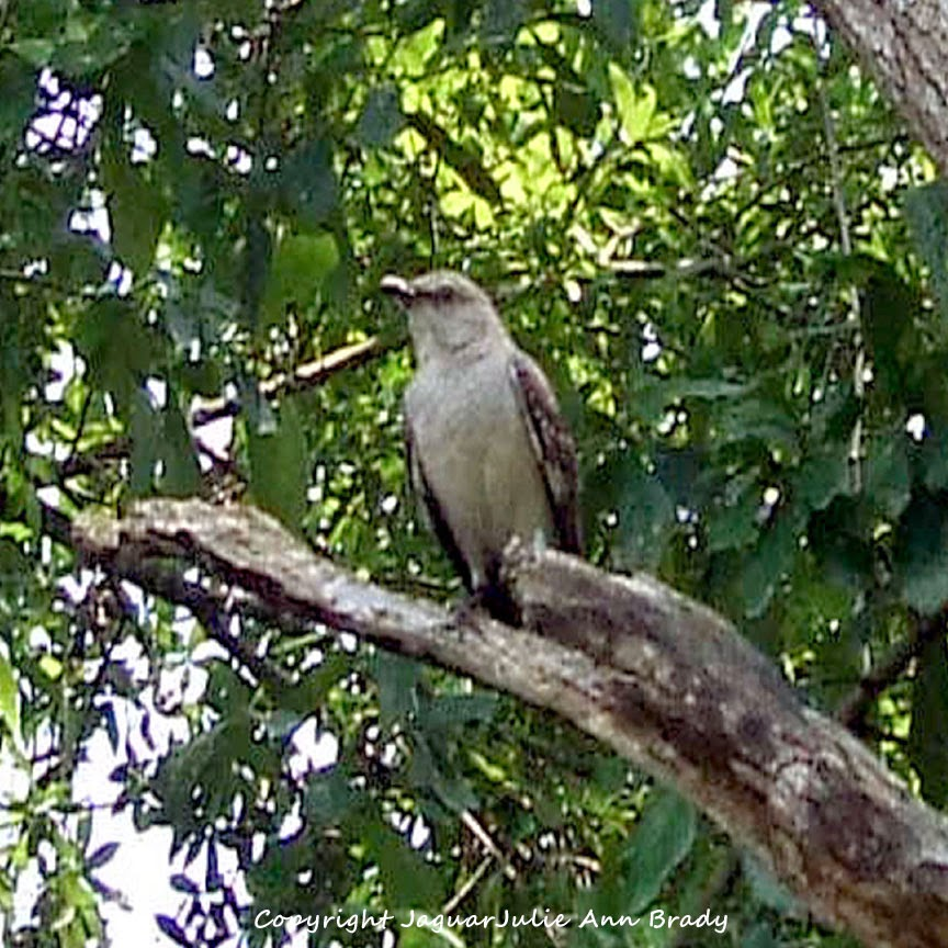Adult Mockingbird Protective Behavior 6