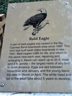 Bald Eagle im Big Cypress Bend Boardwalk