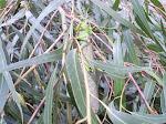 Gafanhoto no eucalipto derrubado