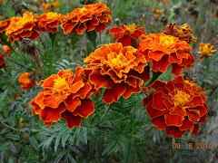 FLORES DA UCRÂNIA