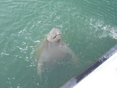 This silly manatee really enjoyed the fresh water hose! Is (s)he laughing??