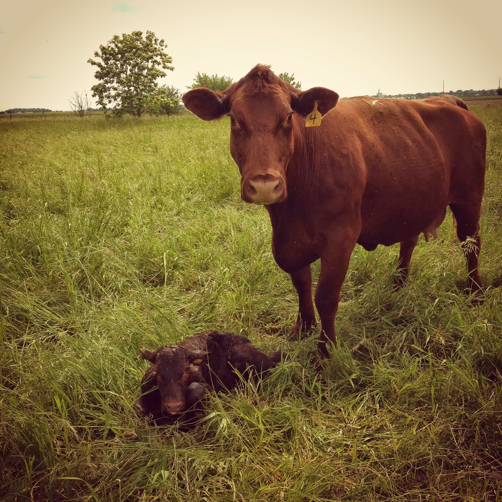Newborn Shorthorn cow and calf