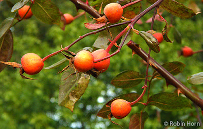 Branch full of Rosehips