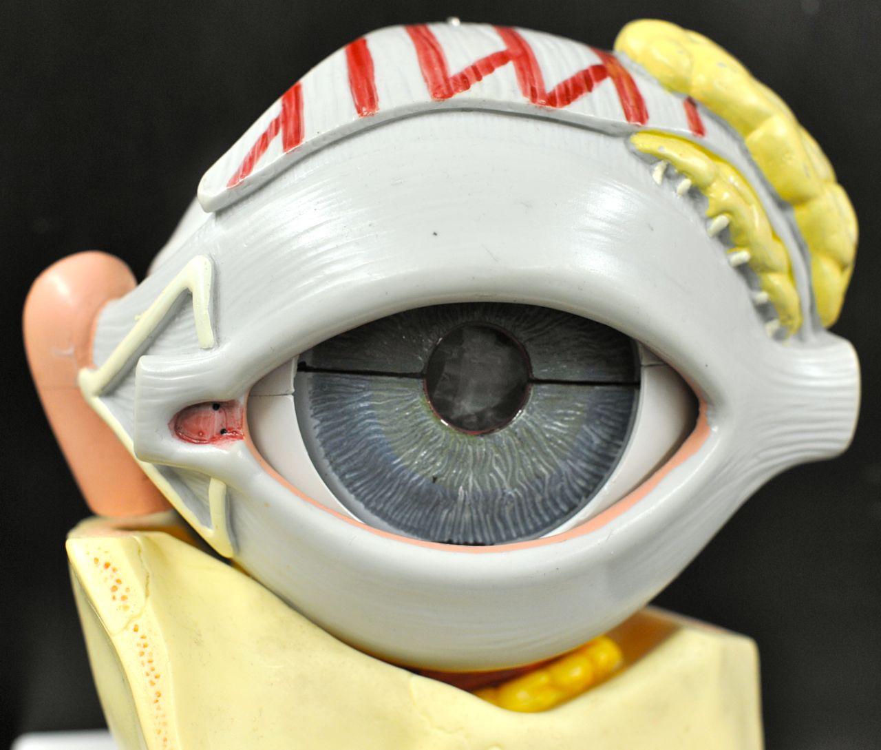 Human Anatomy Lab Eye Models