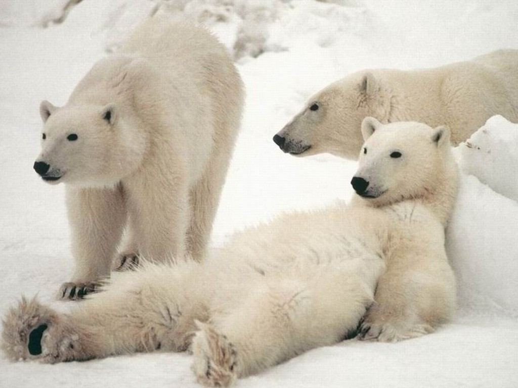 polar bears pictures and wallpapers cini clips