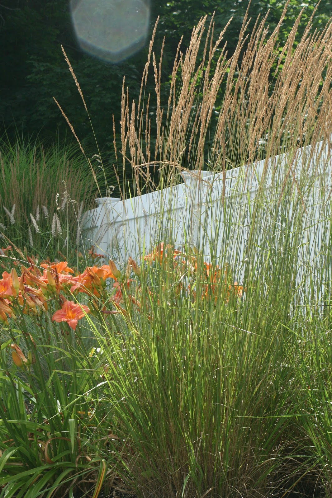 Reed 39 s garden ramblings designing with ornamental grass for Ornamental grasses that stay green all year