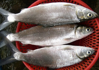 Prosepek Budidaya Ikan Bandeng Di Tambak