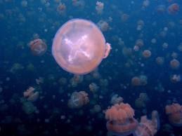 Jezera - Page 2 Jellyfish+Lake%252C+Palau+4