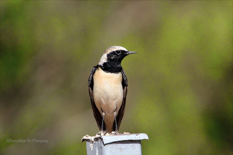 black-eared wheatear (Oenanthe hispanica) in Ethiopia