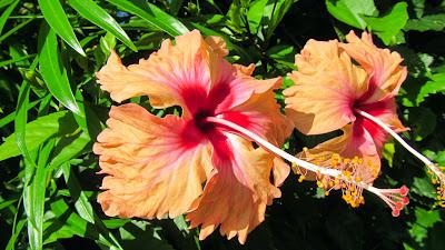 Orangene Hibiskusblüten auf den Seychellen