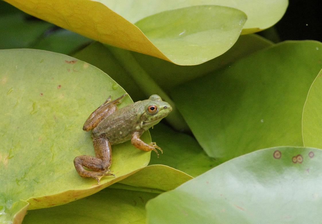 jo u0027s morning walk the frogs of summer