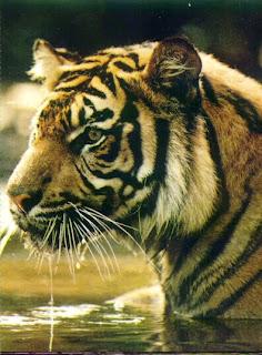 Makan bangkai harimau elak gout