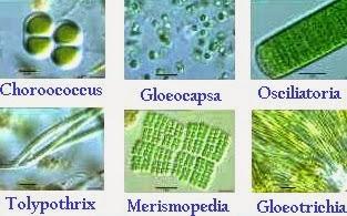 Contoh Gambar Jenis Cyanobacteria (Alga HIjau Biru)