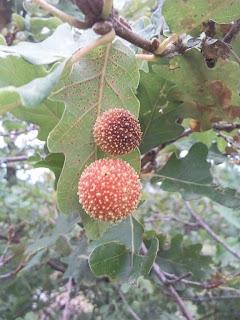 Exemple de galle du chêne