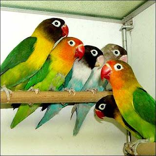 Cara perawatan burung love bird