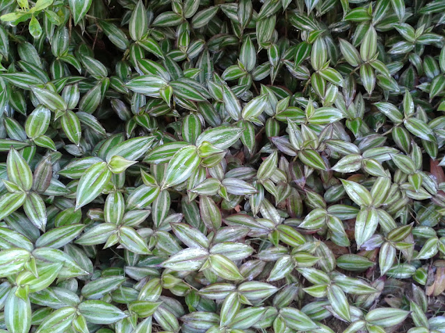 how to grow wandering jew indoors better life. Black Bedroom Furniture Sets. Home Design Ideas