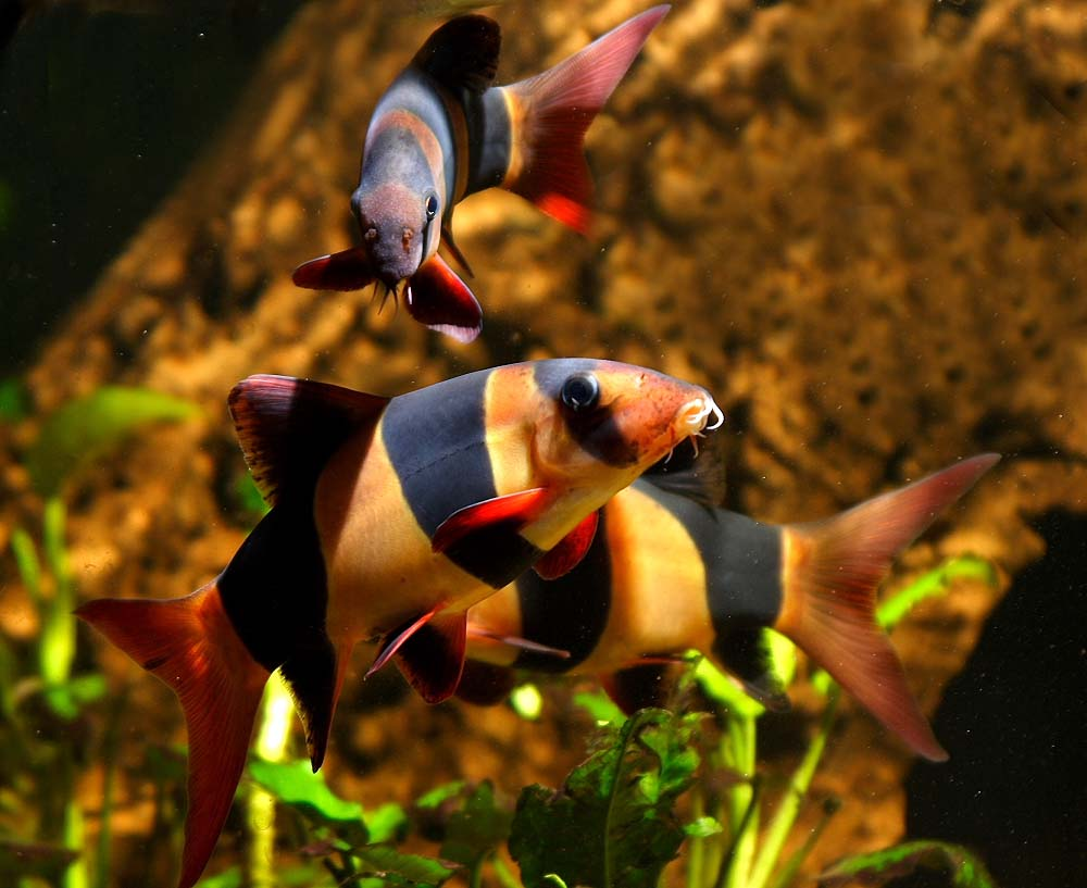 All About Aquarium Freshwater Fish Picture Record