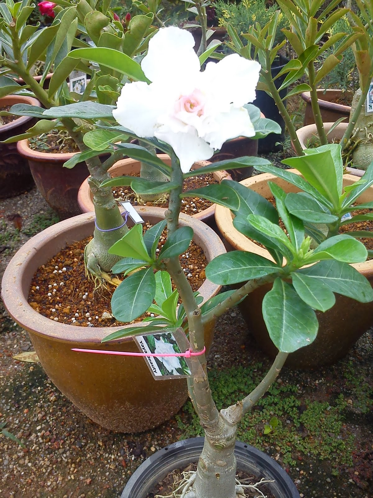 ADENIUM YAYA BEAUTY