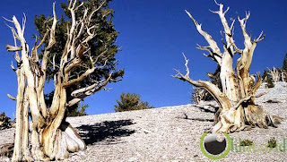 The Methuselah Tree