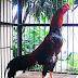 Jual Ayam Petarung Birma (telur hijau) Ayam Bangkok saigon dan Ayam Cemani di Ponorogo
