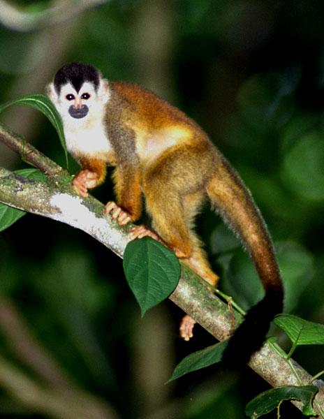 Squirrel monkeys in trees - photo#27