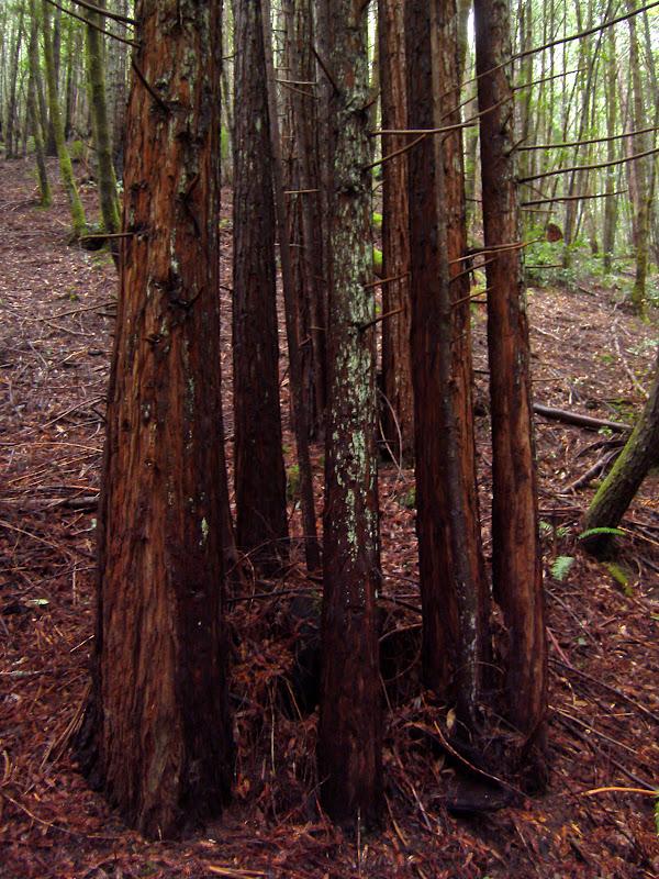 Redwood Fairy Rings