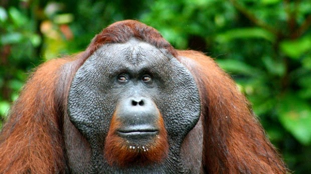 Chimpanzés e Orangotangos