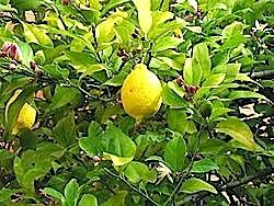 http://fr.wikipedia.org/wiki/Citron