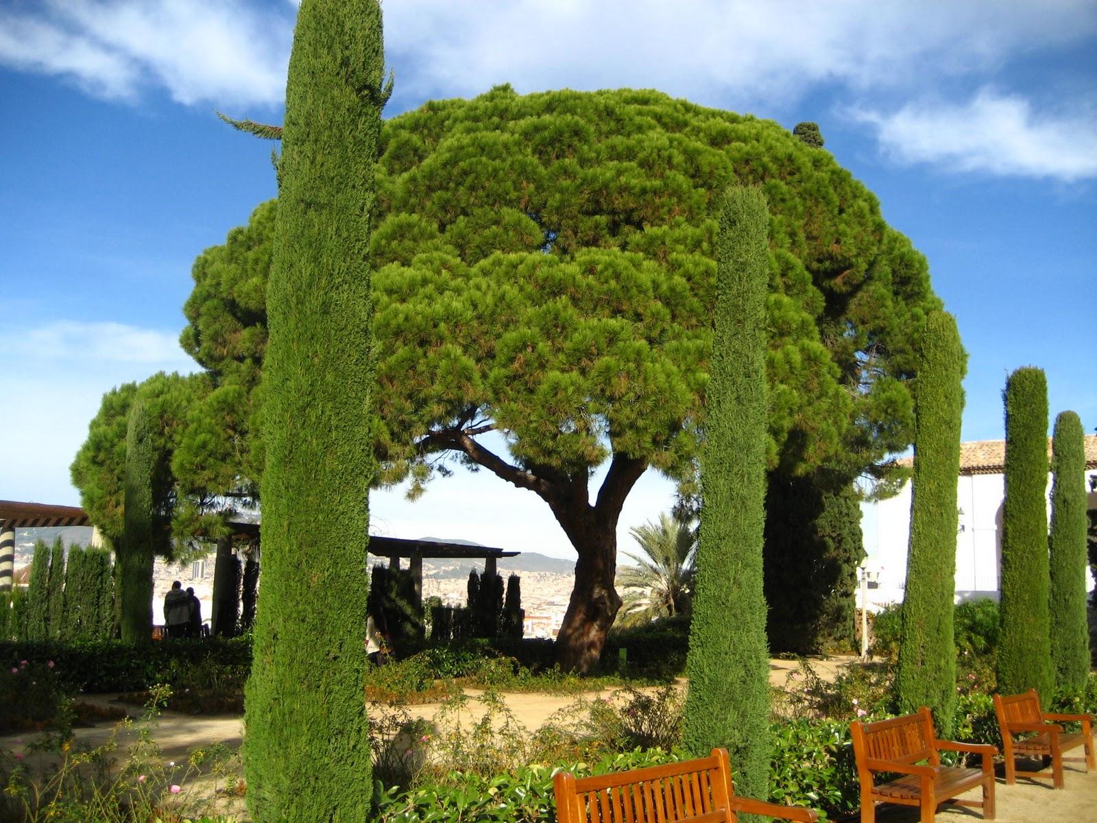 Arte y jardiner a pino pi onero pinus pinea familia for Pinos para jardin