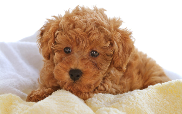 Dog Breed With Really Curly Haired