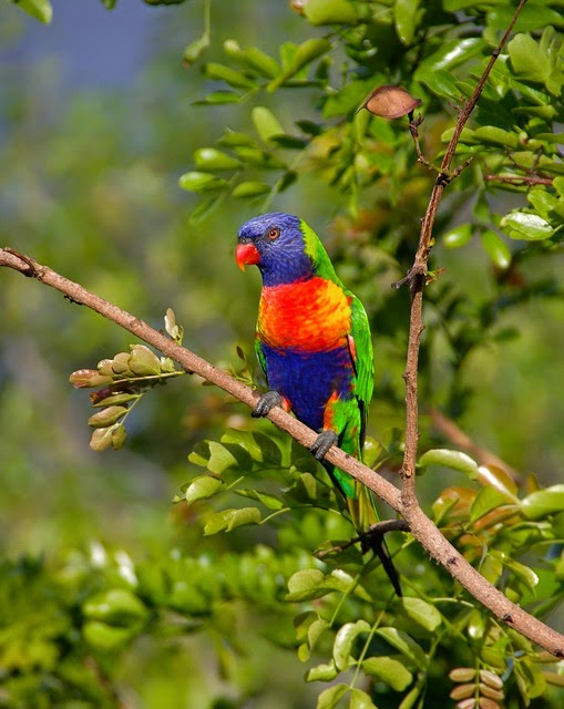 People are used to seeing carnivorous birds, but it's a bit startling to actually see Australian rainbow lorikeets add meat to their normally vegetarian diets. This is less surprising from a biblical perspective, beginning in Genesis.
