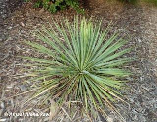 herbaceous plants yucca filamentosa yucca or adam 39 s. Black Bedroom Furniture Sets. Home Design Ideas