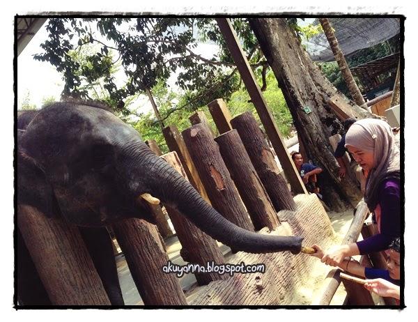 Pisang belalai gajah