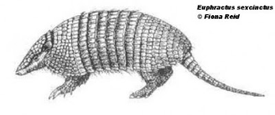gualacate Euphractus sexcinctus