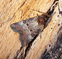 Latest New Macro Moth Species - Rosy Minor