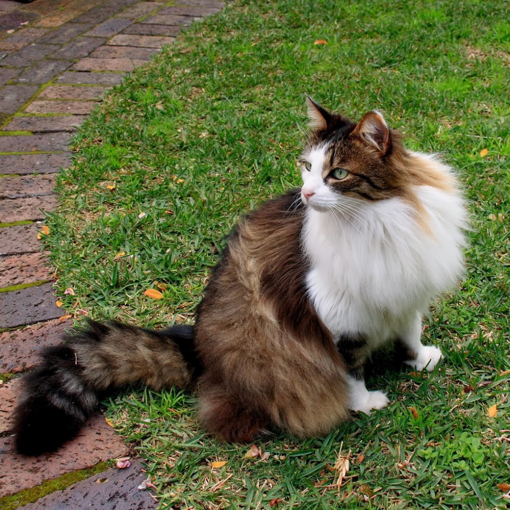 Norwegian Forest Cat Passions For Life