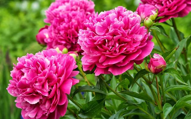 roze bloemen wallpaper
