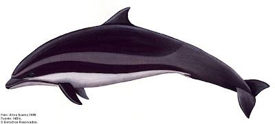delfin de Fraser Lagenodelphis hosei