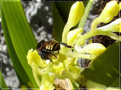 Abelha Mandaçaia na flor