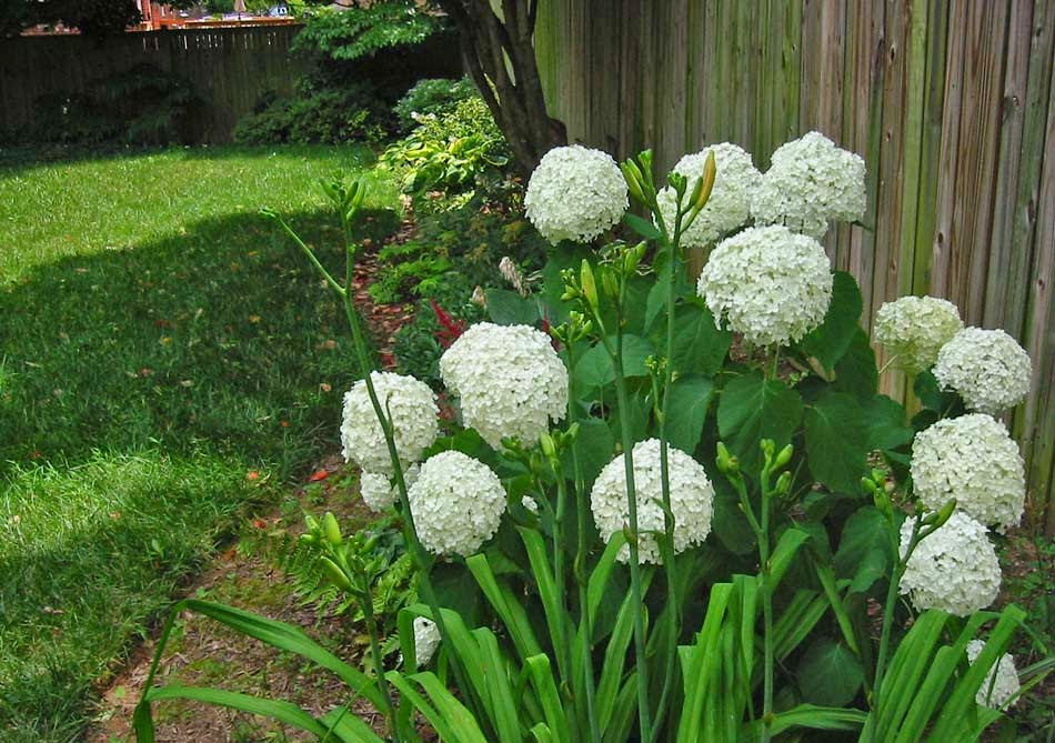 A Leafy Indulgence History Of Annabelle Hydrangea
