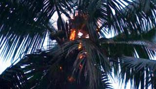 orang hutan