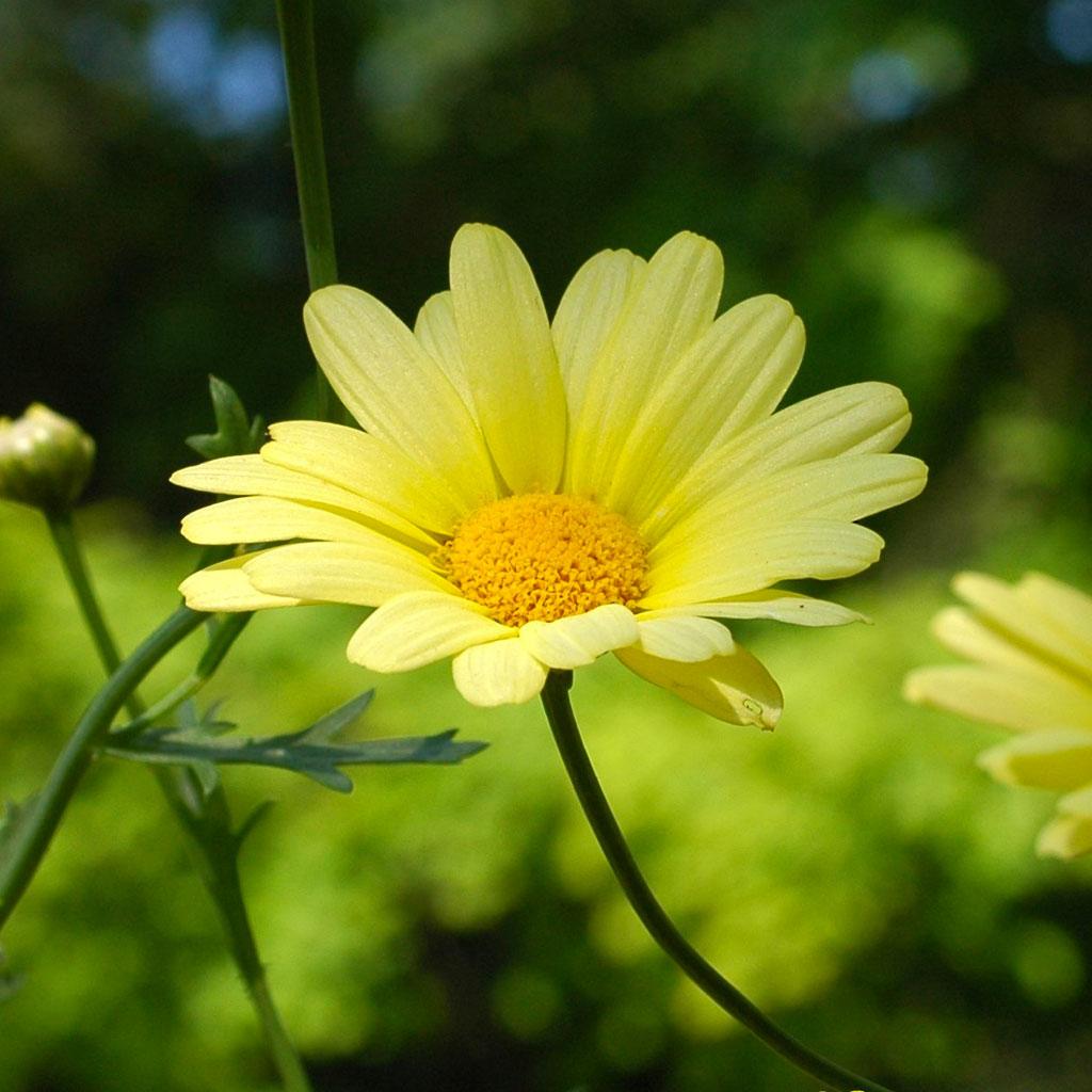 http://4.bp.blogspot.com/-WG_lynBrfDM/Tfi96Ax_x2I/AAAAAAAAAM8/n4pK6yIajpY/s1600/Yellow+Daisy.jpg