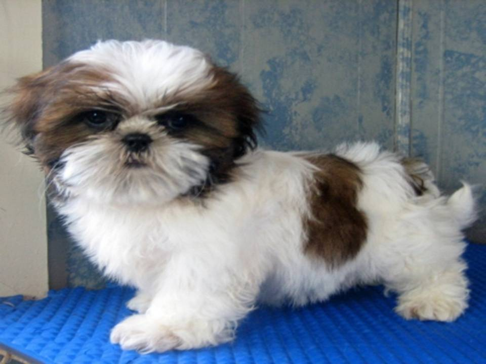 Lovely Pets: Shih Tzu Puppies