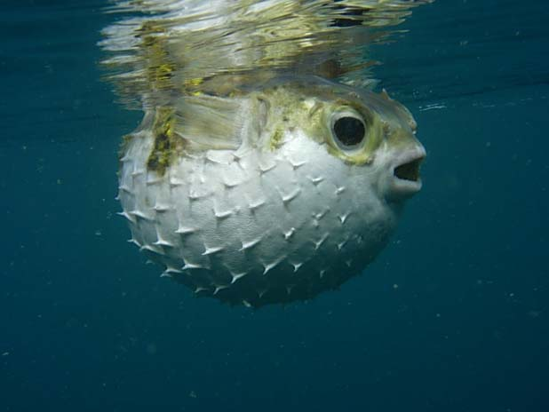 Facts about all march 2013 for Puffer fish facts