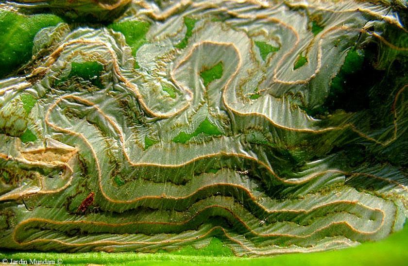sangrando en verde: minador de los cítricos: la naturaleza