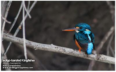Martín pescador pecho azul Alcedo Ceyx cyanopectus