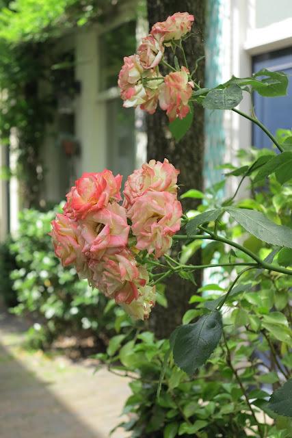 container garden, pink roses, Haafner
