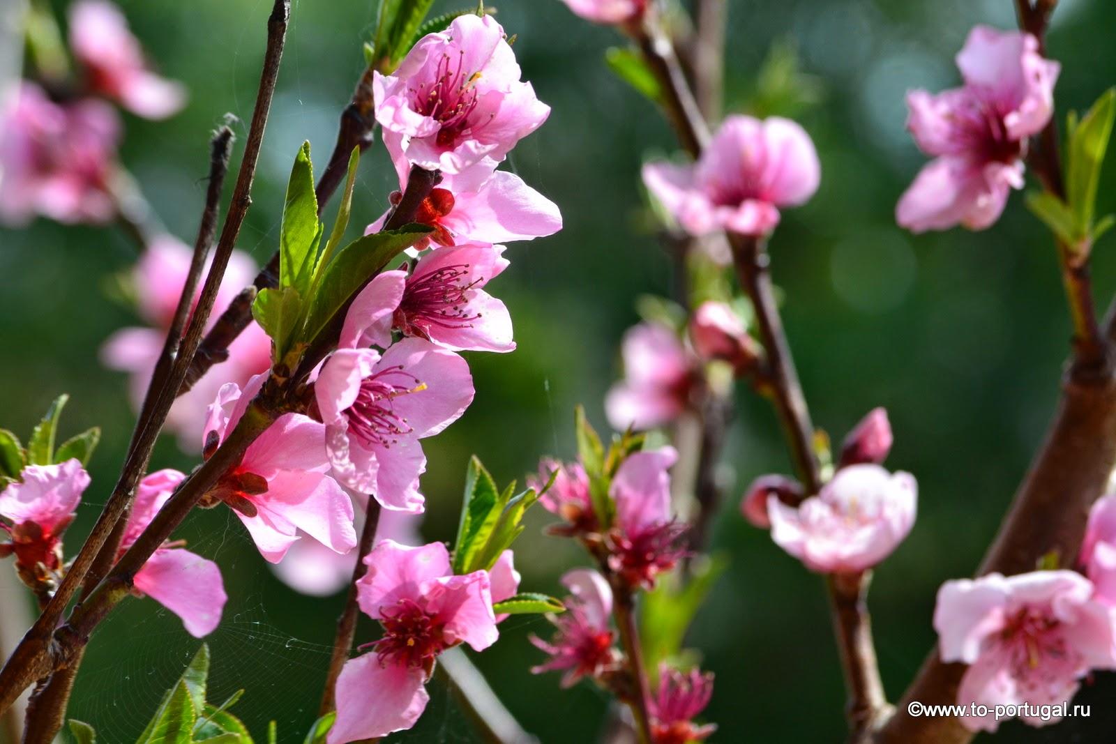 персик цветет в Португалии