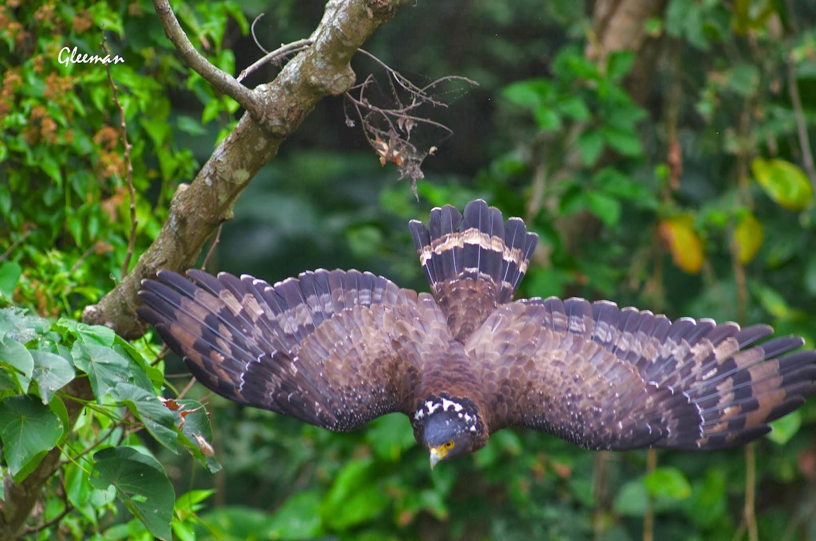 雞南山的大冠鷲。阿鷲。